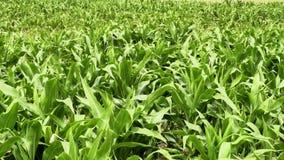 Campo de maíz verde metrajes