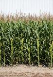 Campo de maíz verde imagenes de archivo