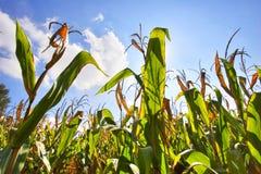 Campo de maíz verde fotografía de archivo libre de regalías