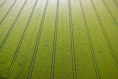 Campo de maíz verde Fotos de archivo
