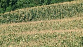 Campo de maíz verde almacen de video
