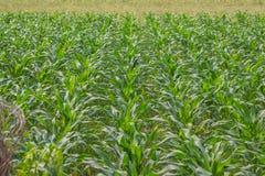 Campo de maíz verde foto de archivo libre de regalías