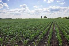 Campo de maíz verde, cielo azul y sol el día de verano imagen de archivo