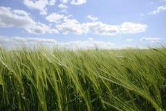 Campo de maíz verde con el cielo azul y las nubes Fotografía de archivo