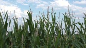 Campo de maíz verde en el sol del verano metrajes