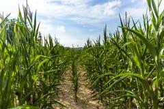 Campo de maíz verde en la tarde del verano Imagen de archivo