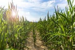 Campo de maíz verde en la tarde del verano Imágenes de archivo libres de regalías