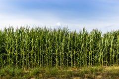 Campo de maíz verde en la tarde del verano Fotos de archivo