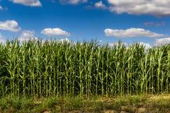 Campo de maíz verde en la tarde del verano Fotos de archivo libres de regalías