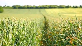 Campo de maíz verde fresco del trigo en el movimiento del viento Trigo inmaduro en viento almacen de video