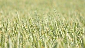 Campo de maíz verde fresco del trigo en el movimiento del viento Trigo inmaduro en viento almacen de metraje de vídeo