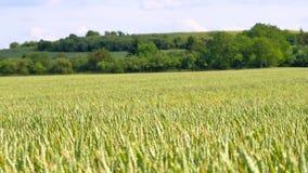 Campo de maíz verde fresco del trigo en el movimiento del viento Trigo inmaduro en viento metrajes