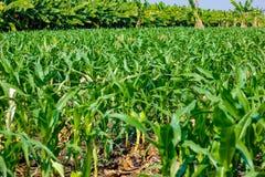Campo de maíz verde verde fresco, granja india, imagen de archivo