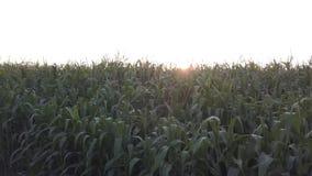 Campo de maíz verde de la opinión aérea de la cosecha del verano almacen de metraje de vídeo