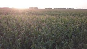 Campo de maíz verde de la opinión aérea de la cosecha del verano metrajes
