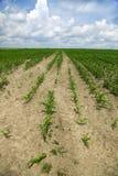 Campo de maíz verde que crece en el cielo azul Fotografía de archivo