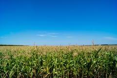 Campo de maíz verde ucrania Foto de archivo