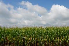 Campo de maíz y cielo Fotografía de archivo libre de regalías