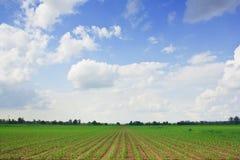 Campo de maíz y concepto de la agricultura del cielo azul Fotos de archivo