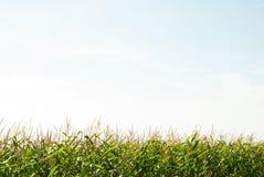 Campo de maíz y el cielo en el día de verano foto de archivo libre de regalías