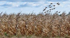 Campo de maíz y gansos fotografía de archivo