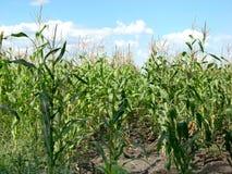 Campo de maíz y paisaje del cielo Imagen de archivo libre de regalías