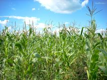 Campo de maíz y paisaje del cielo Foto de archivo libre de regalías
