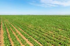 Campo de maduración verde de la soja Filas de sojas verdes Planta de la soja imagen de archivo libre de regalías