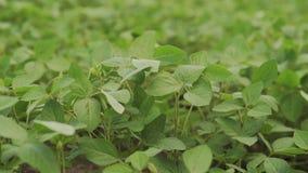 Campo de maduración verde de la soja, paisaje agrícola almacen de metraje de vídeo