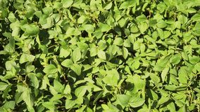 Campo de maduración verde de la soja, paisaje agrícola almacen de video