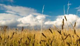 Campo de malas hierbas y del cielo nublado azul Foto de archivo libre de regalías