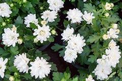 Campo de margaritas Fondo de las flores blancas Opinión macra la margarita Margaritas en la floración Imagenes de archivo