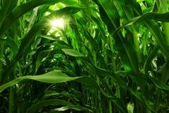 Campo de maíz Imagen de archivo libre de regalías