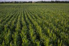 Campo de maíz Fotografía de archivo libre de regalías