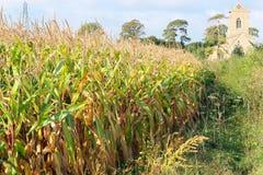 Campo de maíz al lado de una iglesia en el Reino Unido Imágenes de archivo libres de regalías