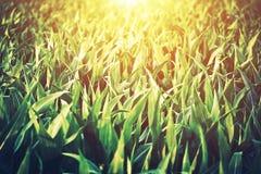 Campo de maíz asoleado Imágenes de archivo libres de regalías