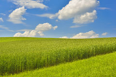 Campo de maíz con el cielo azul Foto de archivo libre de regalías
