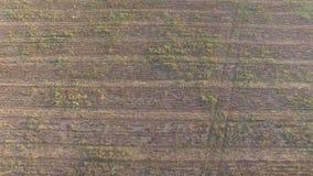 Campo de maíz con la hierba y los oídos del trigo después de cosechar Silueta del hombre de negocios Cowering almacen de video