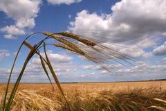 Campo de maíz con tres oídos Fotos de archivo libres de regalías