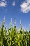 Campo de maíz y cielo azul Imagen de archivo libre de regalías