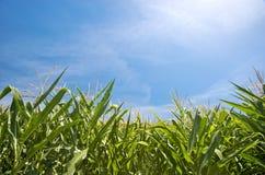 Campo de milho Fotos de Stock
