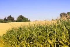 Campo de milho Fotos de Stock Royalty Free