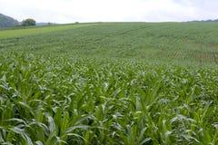 Campo de milho Fotografia de Stock