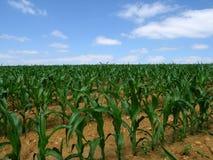 Campo de milho Imagens de Stock