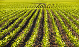 Campo de milho Foto de Stock