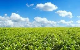 Campo de milho Fotografia de Stock Royalty Free