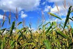 Campo de milho Imagem de Stock Royalty Free