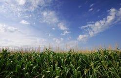 Campo de milho Imagem de Stock