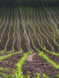 Campo de milho. Fotografia de Stock