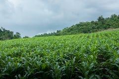Campo de milho amador em Tailândia do norte sob o céu nebuloso fotografia de stock